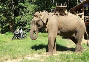 Elefante Tai moto
